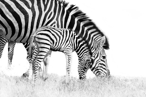 A female Zebra with colt..