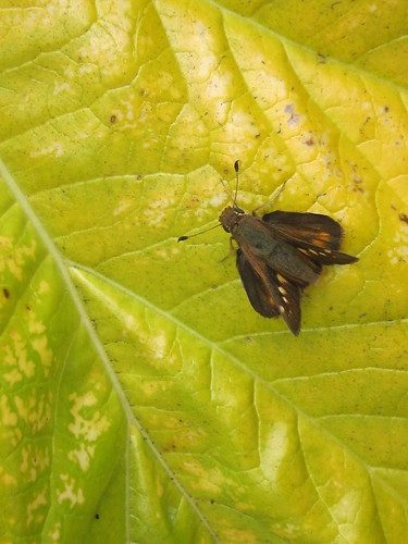 Brown Skipper Butterfly Against a Yellow Leaf
