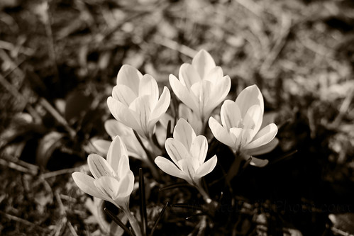 Monochrome Monday: Crocus by Ali Crehan