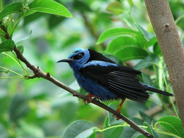 Red-Legged Honeycreeper, CAS Rain Forest