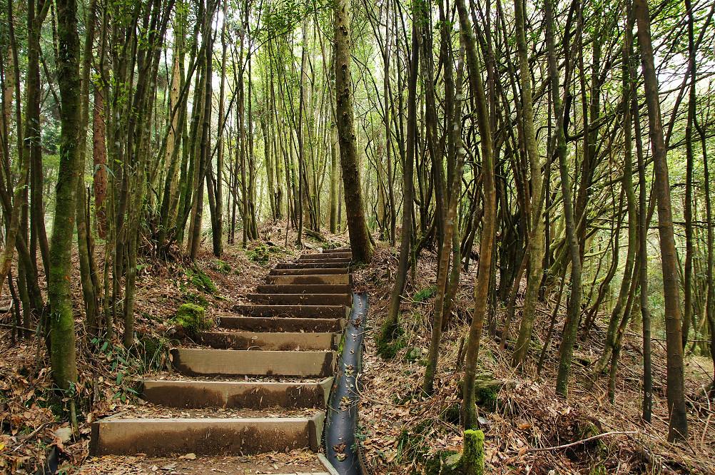 觀霧巨木步道-064