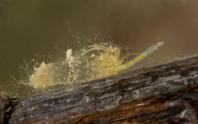 Chironomid midge larva in case edited