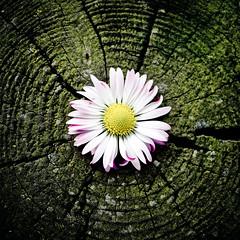 [フリー画像素材] 花・植物, ヒナギク・デイジー ID:201203280600
