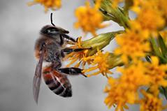 nectar(0.0), arthropod(1.0), pollinator(1.0), animal(1.0), wasp(1.0), pollen(1.0), flower(1.0), yellow(1.0), invertebrate(1.0), macro photography(1.0), membrane-winged insect(1.0), flora(1.0), fauna(1.0), close-up(1.0), bee(1.0), bumblebee(1.0),