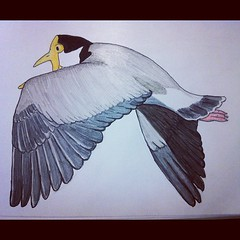 Sketch: Masked Lapwing (Spur wing plover)