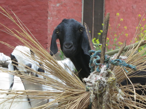Farmhouse goats in Nepal