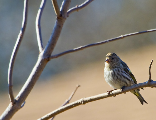 Pine Siskin by Ricky L. Jones Photography