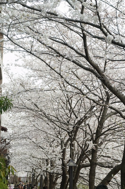 Megurogawa Sakura 07