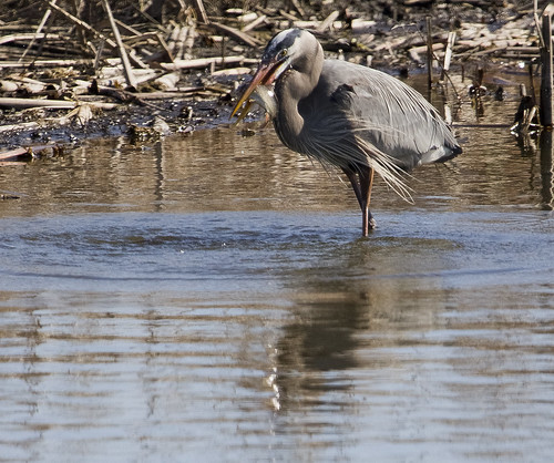 Great Blue Heron Fishing by Ricky L. Jones Photography
