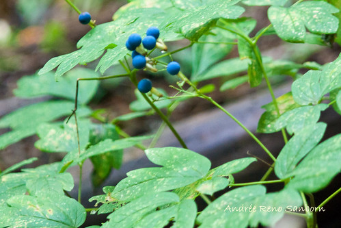 Blue Cohosh (Caulophyllum thalictroides)-3.jpg