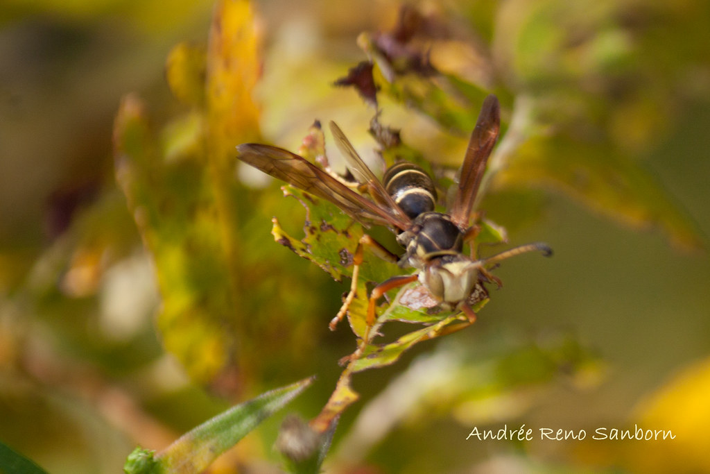Northern Paper Wasp (Polistes fuscatus)-9.jpg