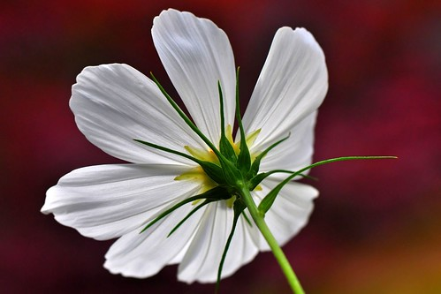 Glowing white Cosmos