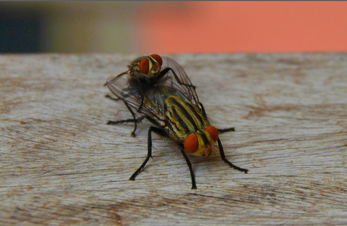 flies having sex
