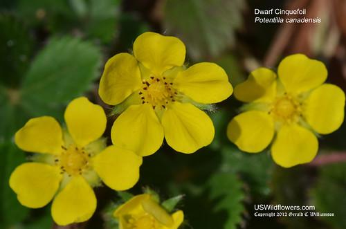 Dwarf Cinquefoil - Potentilla canadensis by USWildflowers, on Flickr