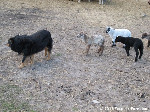 Farm dogs and little lambs 9 - FarmgirlFare.com