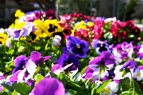 Pansies as far as the eye can see.