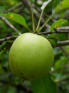 Apple - Malus domesticus
