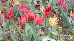 il rosso dei tulipani nel giardino di ma e pa