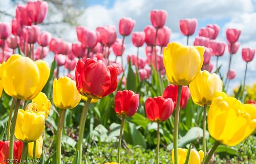 arbor crest tulips