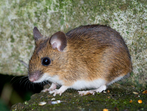 Field mouse animal - photo#28