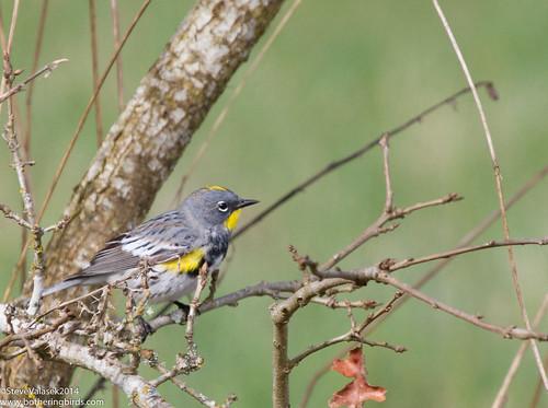 Audubon's YRWA