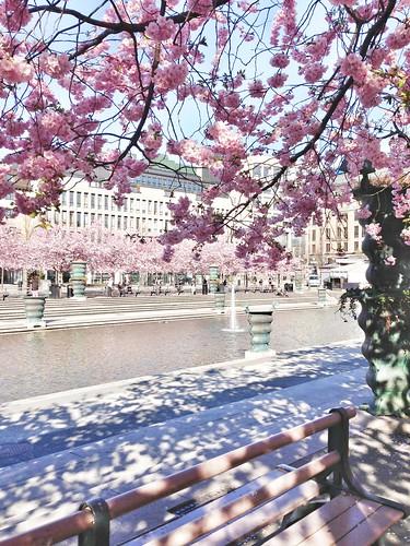 cherry blossom sthlm 2014