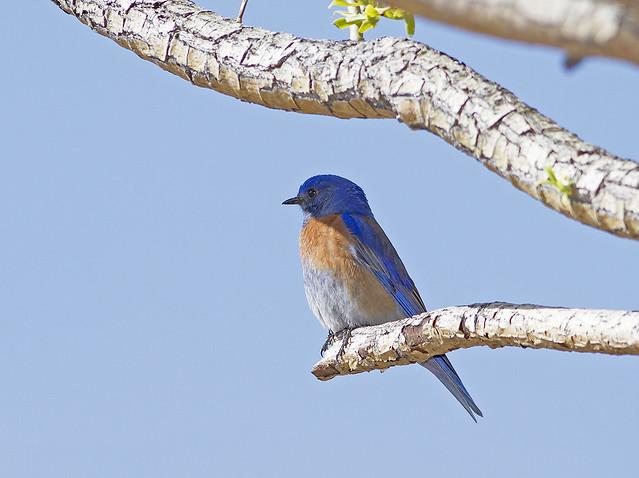 Western Bluebird_0992