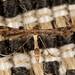 plume moths (1.5 x) by مشعل الريحان MISHAL ALRYHAN