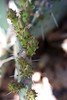 Prickly Pear Nubs