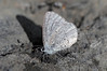 Spring Azure (Celastrina ladon) by Ron Wolf