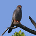 Red-footed Falcon (male) (R. Davidson)