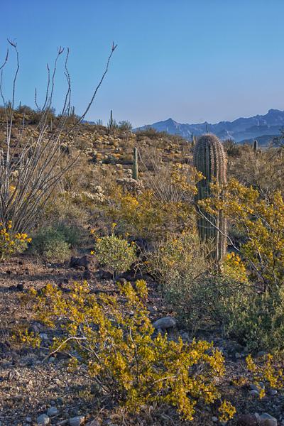 Sonoran Desert Dressed in Yellow