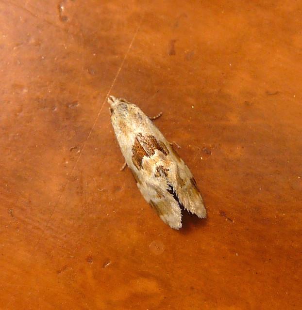 Header of Tortricidae
