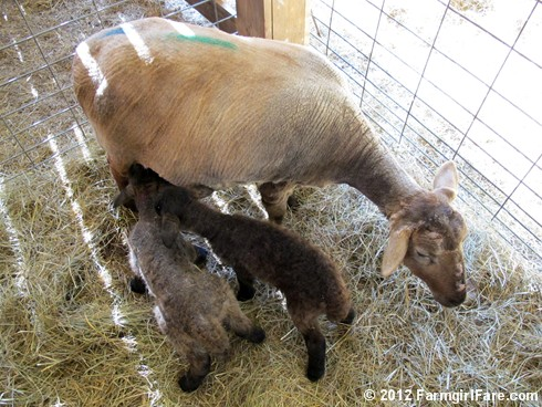 Monday morning lambing 4 - FarmgirlFare.com