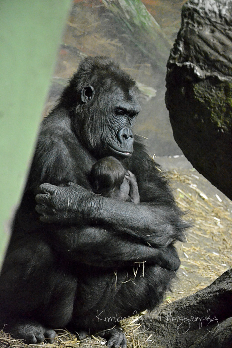 Moka and baby gorilla