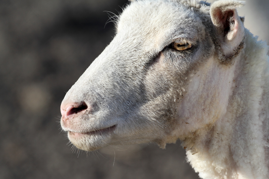 022712_03_sheep04
