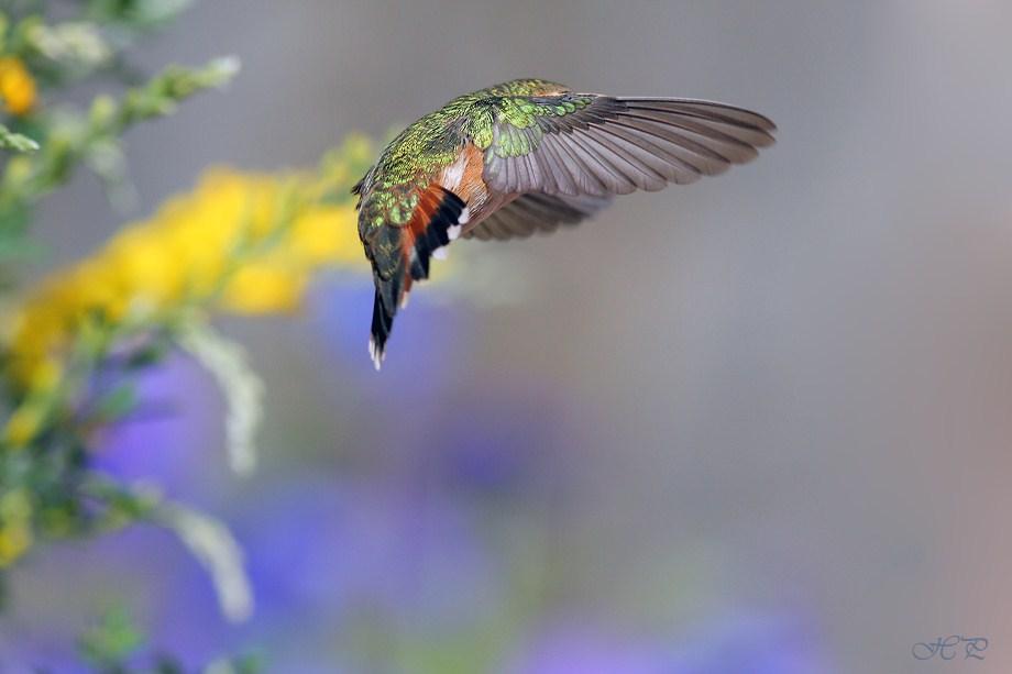 Allen's Hummingbird 030712-3