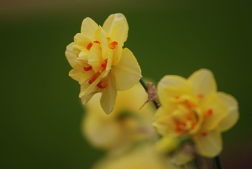 Daffodil -- Tahiti 3-12-12 by Get The Flick
