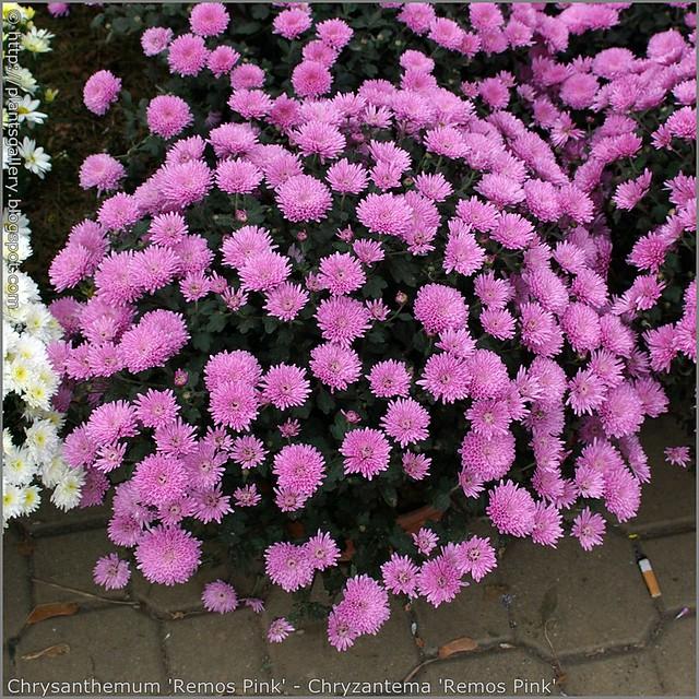 Chrysanthemum 'Remos Pink' - Chryzantema 'Remos Pink'