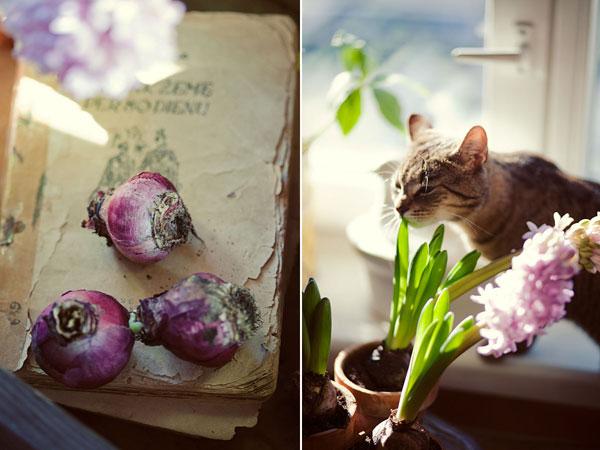 Hyacinth ♥ (acufactum)