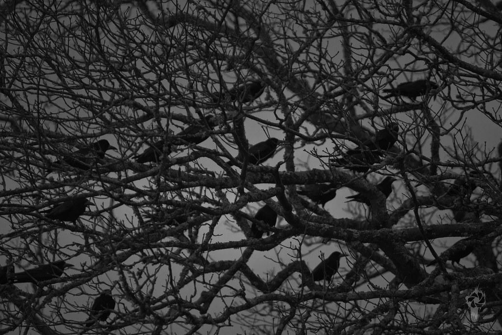 a murder of crows (B&W)