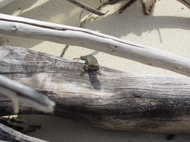 Little Bahama curly tailed lizard 1