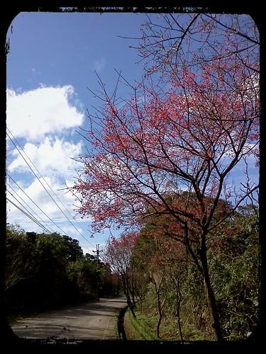 2012.2.12 ::: 三芝櫻花小旅行-5 by 南南風_e l a i n e