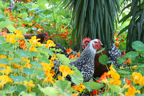 chickens in the nasturtiums