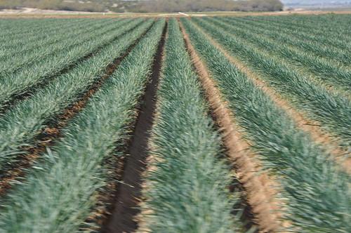 az welton onionfields weltonaz pamelaschreckengost pamschreckcom