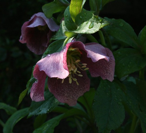 Hellebore1LateMarch2012