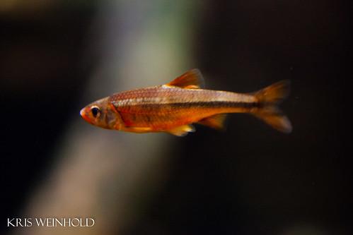 Redlip Shiner