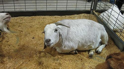sarcastic goat