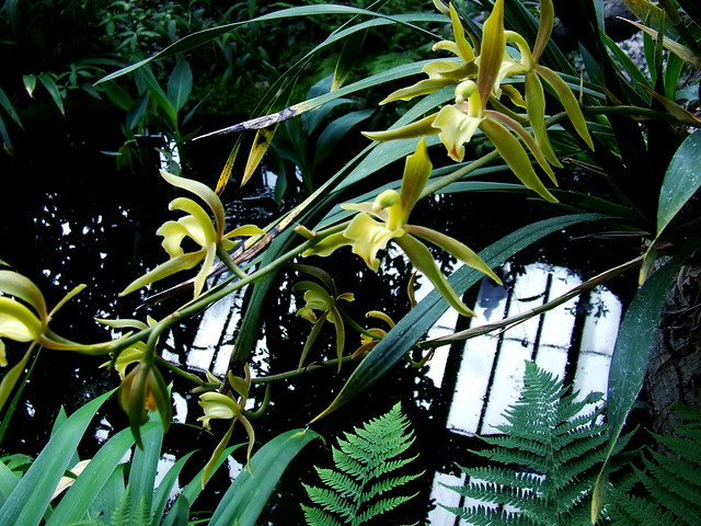 yellow orchids in the Temperate House