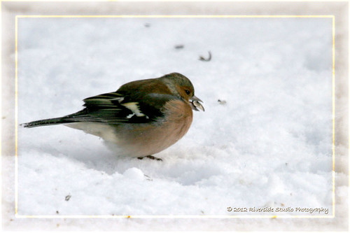 Chaffinch Finds Seed Covered By The Snow